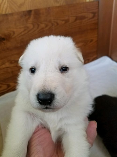 White male Snowcloud German Shepherd Puppy 3 weeks old. Brown Collar
