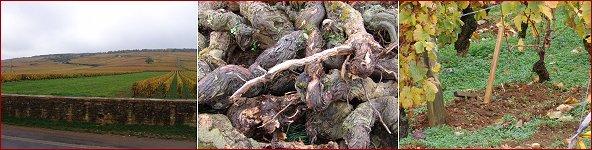 replacing vines in romanée-conti