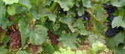 3rd september – volnay and smelly grapes