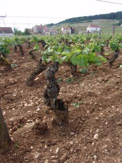 Clos St.Denis - old vines (planted 1905)