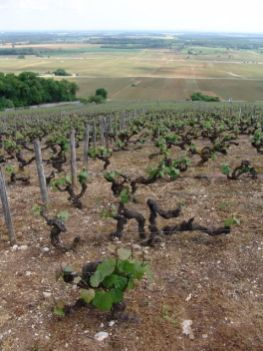 Clos Monts Luisants - Aligoté planted in 1911. The only Aligoté with a 1er cru (Ponsot)