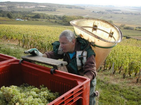 last grapes of the harvest, corton-charlemagne