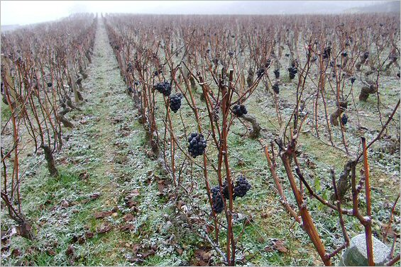 frozen grapes in Nuits St.Georges