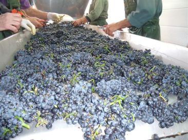 Grapes on the sorting table