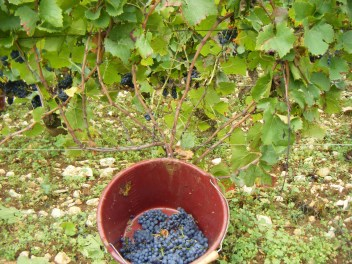 Chambolle Village Vine stripped by yours truly (grapes in shot are vine behind)