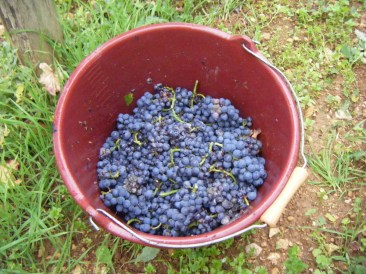 Day 6 - Bonnes Mares fruit in bucket