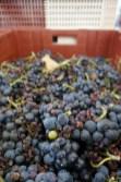 Grapes pre-triage