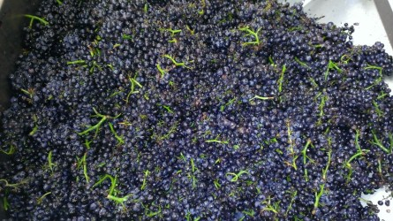 Vosne-Romanée whole clusters