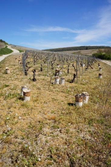 A sad, herbicide treated, candle-festooned corner of Les Clos!