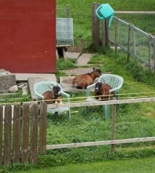Comfy goats...