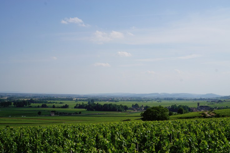 From top of Clos Des Mouches to wards Pommard with Meursault in the far distance...