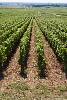 The rows of Meursault-Charmes directly below Perrières...