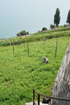 Weeding in the new vines - where are the new vines?