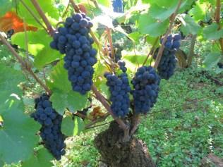 Ruchots grapes