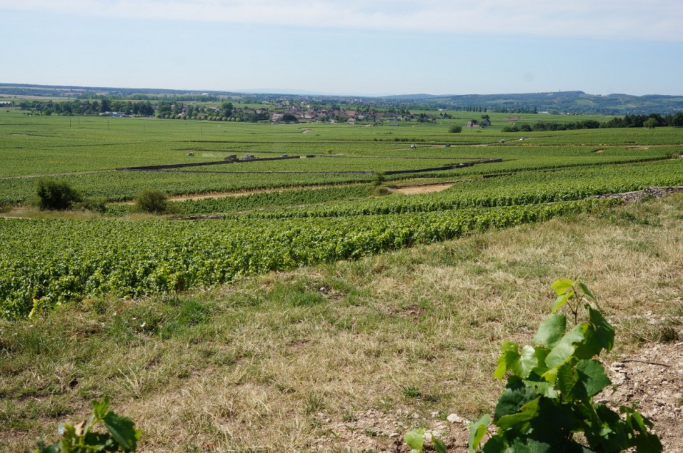 Mid-vineyard view of Meursault-Perrières