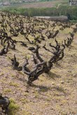 Old vines Fleurie