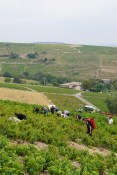 Harvesting in Chiroubles