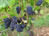 Roncevie-fruit