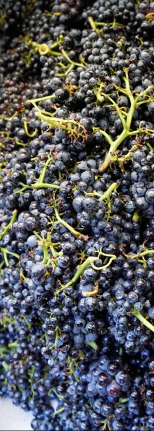 Whole-clusters of Lavaux -direct into the fermentation tank...