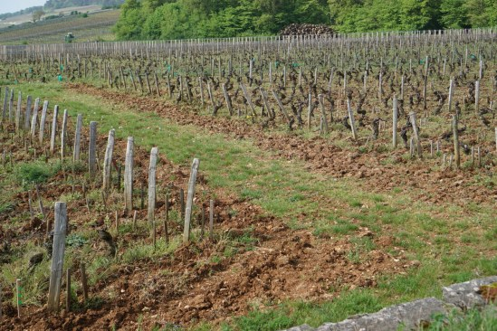 A small mid-vineyard gap - left the vines of Duroché, right the vines of Launay-Horiot...
