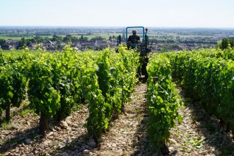 Trimming above Meursault
