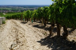 Sandy soil at the top of Meursault