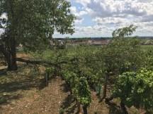 Oops - broken vines too - Pommard-Rugiens Hautes