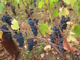 Arlaud-Grapes-Gevrey-1er-Combottes