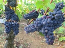 Bourgogne Roncevie fruit 10092018