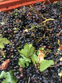 Chorey for throwing away - the average delivery of grapes looked worse than this in 2004!