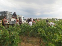 Arlaud Vendange final day Gamay plot late p.m exit
