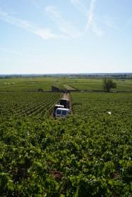 Harvesting in Montrachet