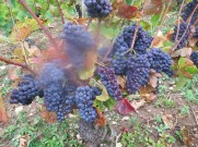 Fixin En Clomee grapes a.m day 6