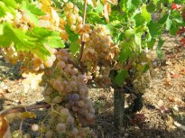 Rogue white grapes in Chambolle Village