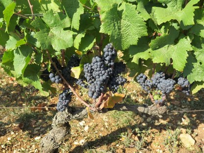 Unknown domaine Chambolle Village fruit2