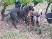 Hautes-Cotes 3 dogs enjoying bucket drink