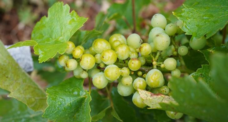 Chardonnay veraison