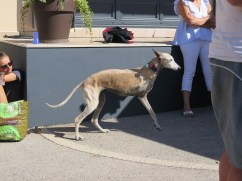 Noellat Vendange Spanish 3 legged dog