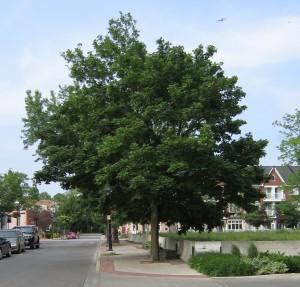 Trees Pine street