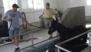 Horse entering pool