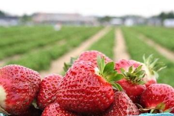 strawberries-field