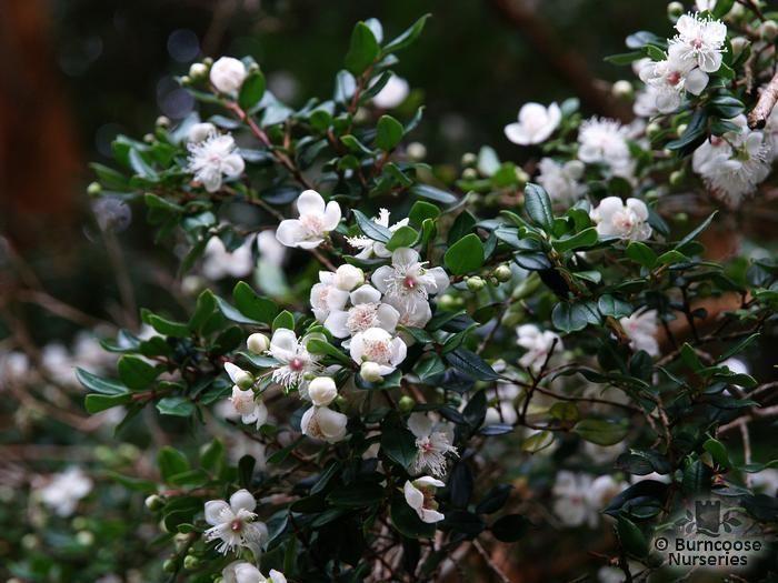 Bush Small White Berries