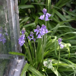spanish bluebells at the greenhouse door