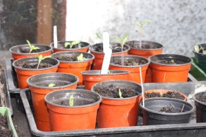 seedlings in pots on a greenhouse bench
