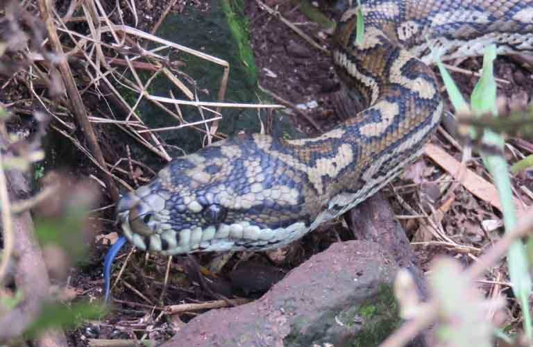 Schlangen In Australien