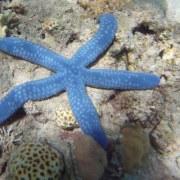 Tauchen Australien: Seestern