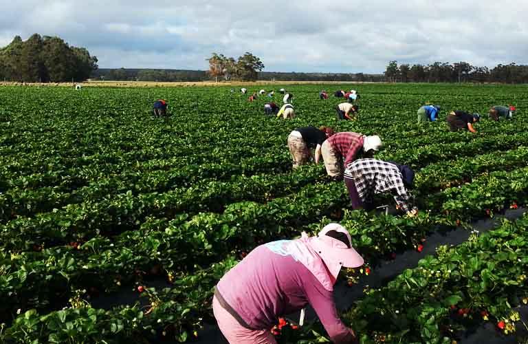 Work & Travel Australien Erdbeeren pflücken