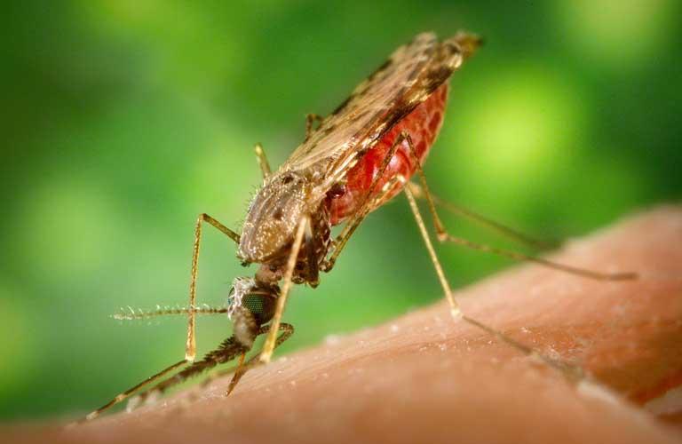 Afrikas Top 10 der gefährlichsten Tiere: Anopheles Mücke
