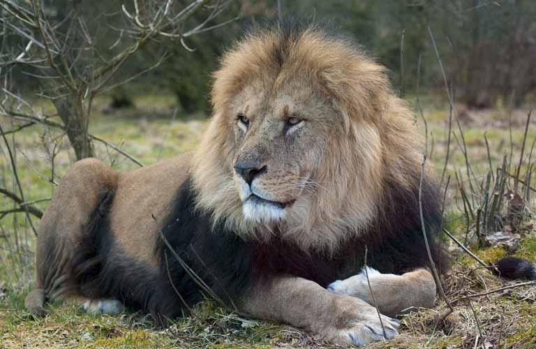 Afrikas Top 10 der gefährlichsten Tiere Löwe