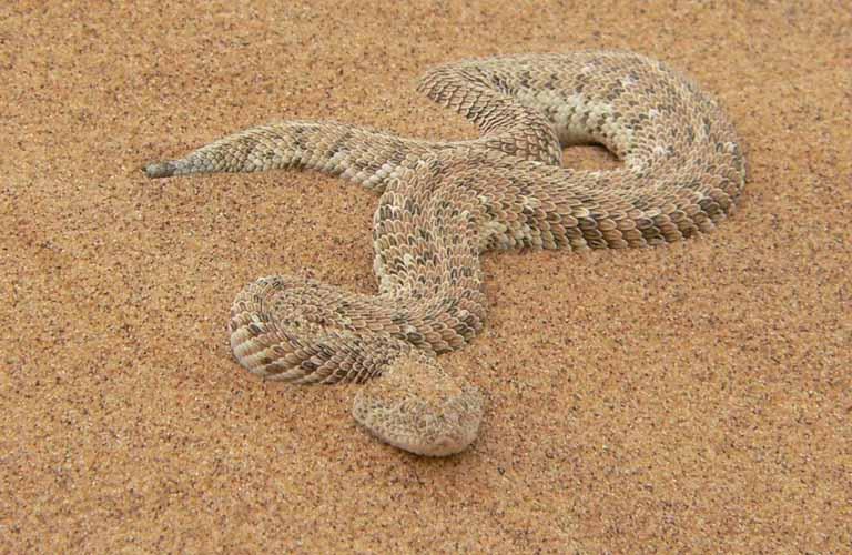 Afrikas Top 10 der gefährlichsten Tiere Puff adder